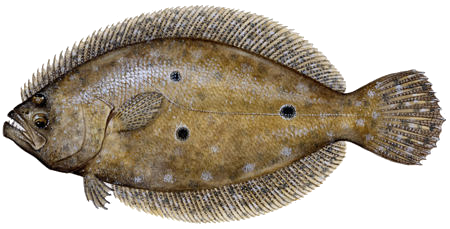 gulf flounder sm-1