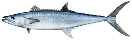 king mackerel sm