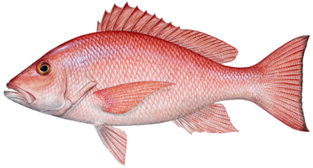 red snapper sm