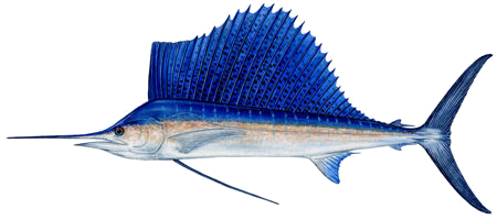 sailfish sm