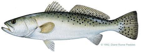 sea trout sm