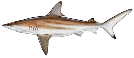 blacktip shark sm