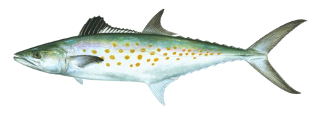spanish mackerel sm